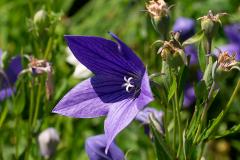 Giesing - Glockenblume. Foto Gisela Glass